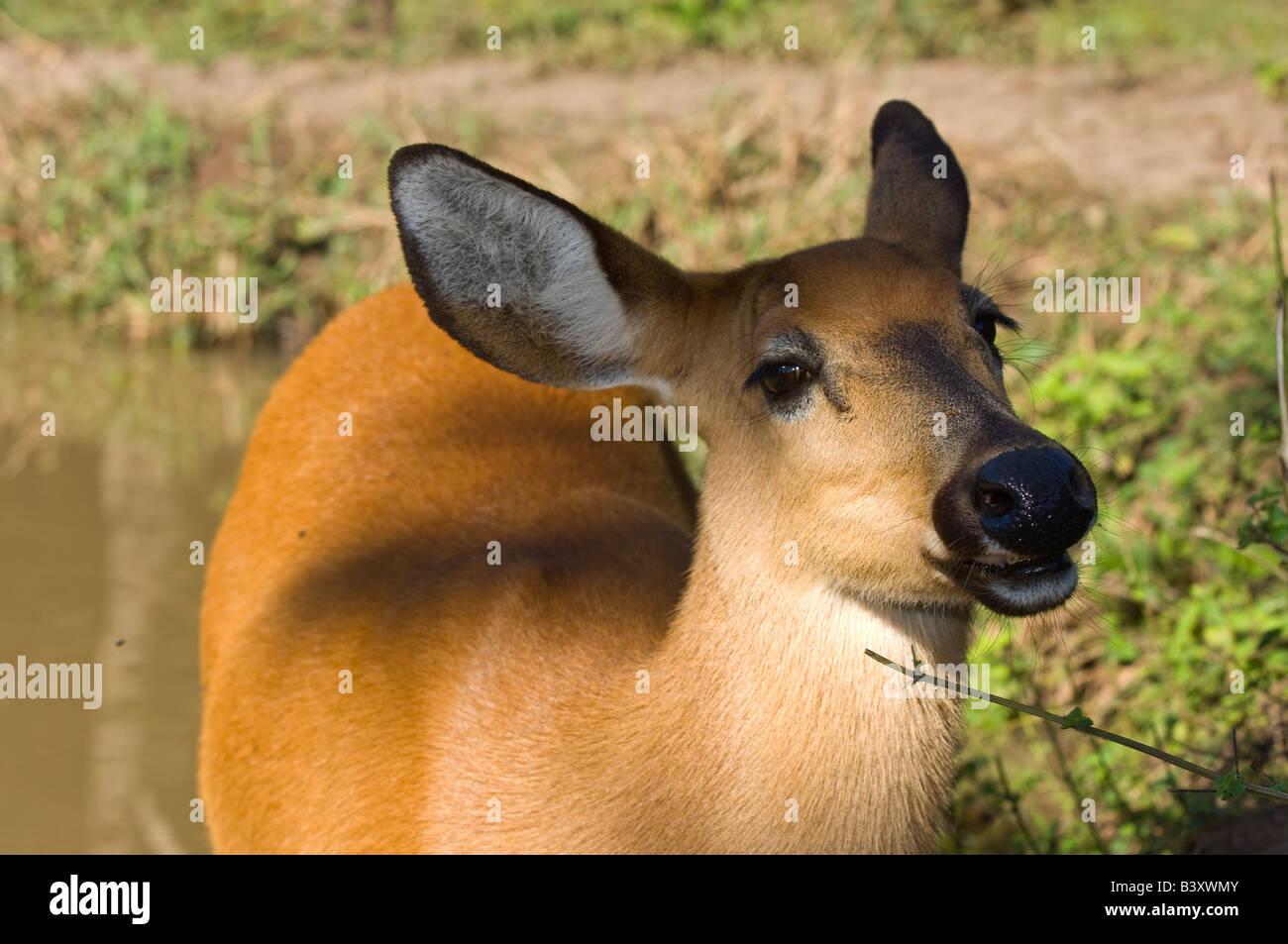 Captive Pampas Deer Ozotoceros bezoarticus in Mato Grosso do Sul Brazil Stock Photo
