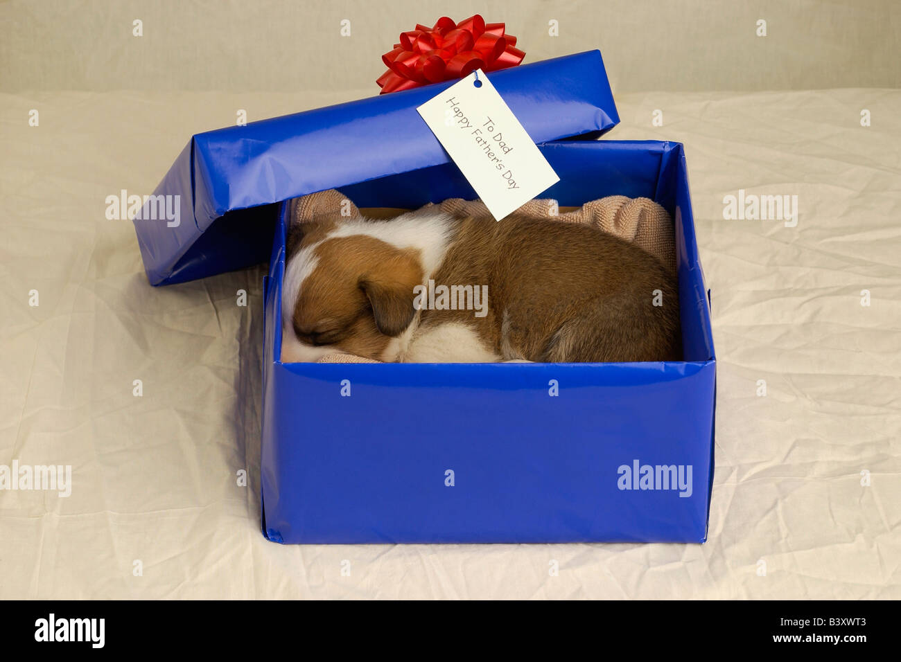 Puppy sleeping in a gift box - Stock Image