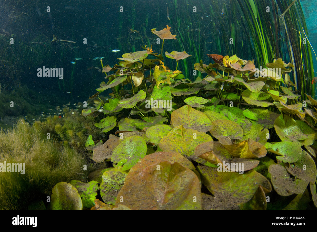 Water Lily Nymphaea gardneriana on the bottom of a jungle stream in Mato Grosso do Sul Brazil - Stock Image