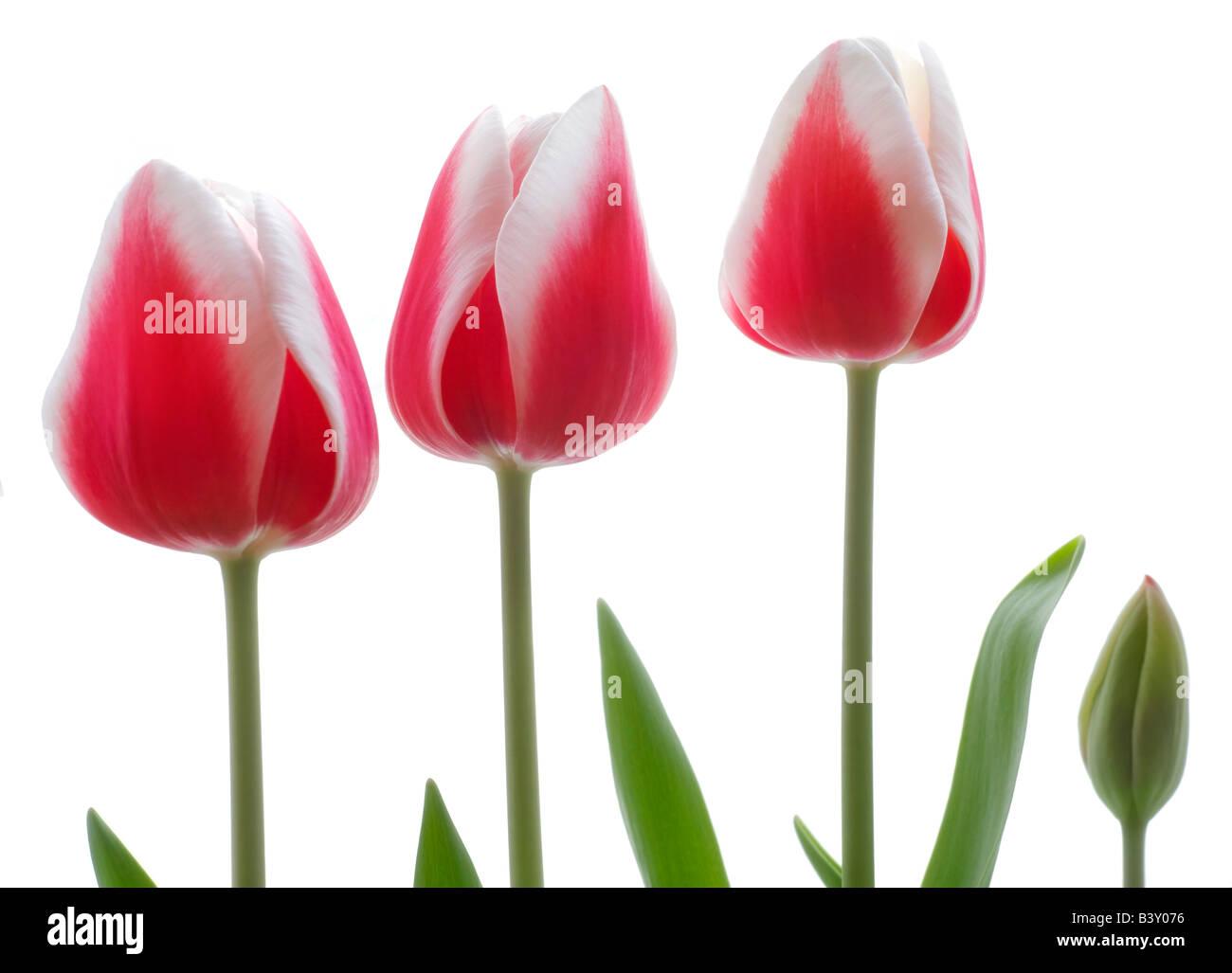 Pink tulips on white background Stock Photo
