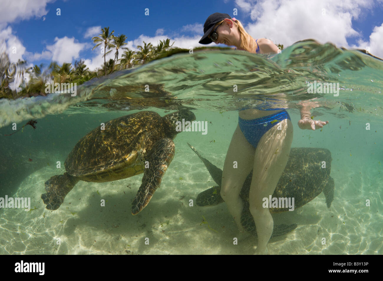 Green Turtles and Tourist Chelonia mydas Oahu Pacific Ocean Hawaii USA Stock Photo