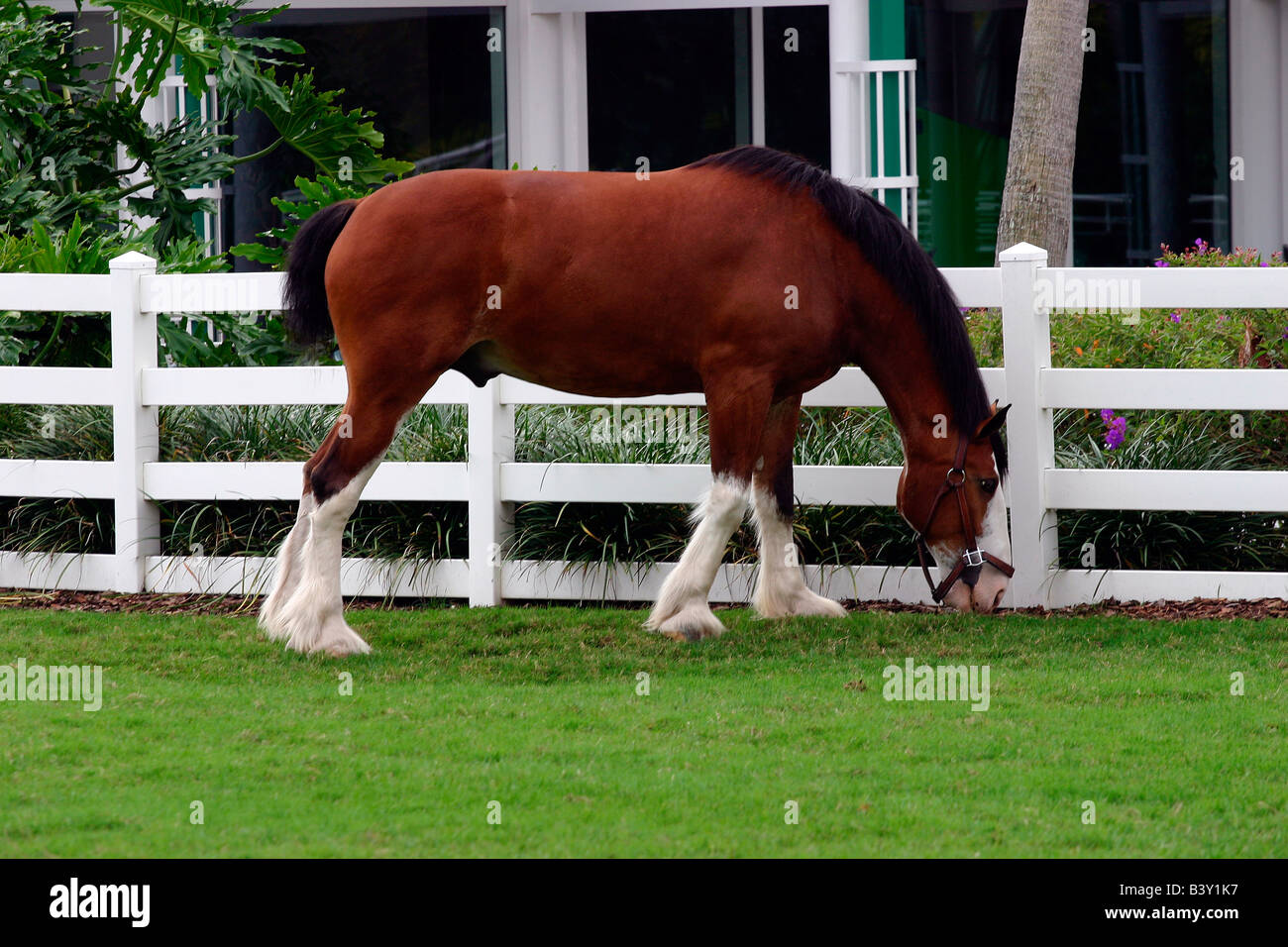 Brown Clydesdale Horse With White Blaze High Resolution Stock Photography And Images Alamy