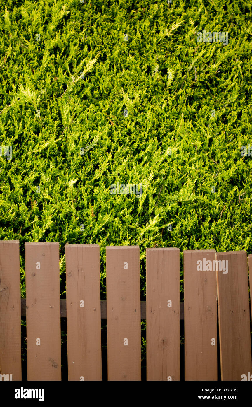 Picket fencing against Evergreen Conifer Hedge - Stock Image