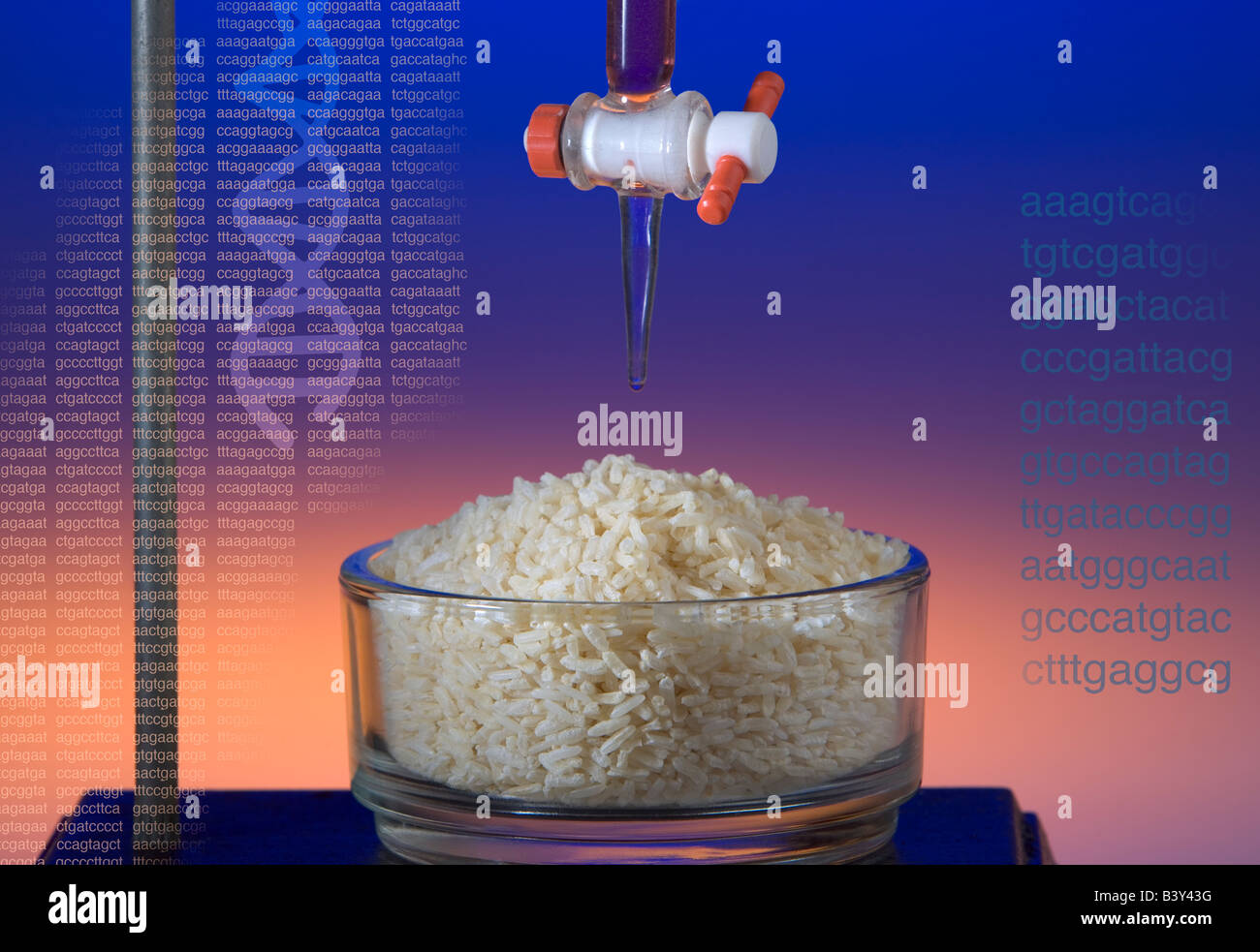 A conceptual shot demonstrating the idea of genetically modified rice in a laboratory setting - Stock Image