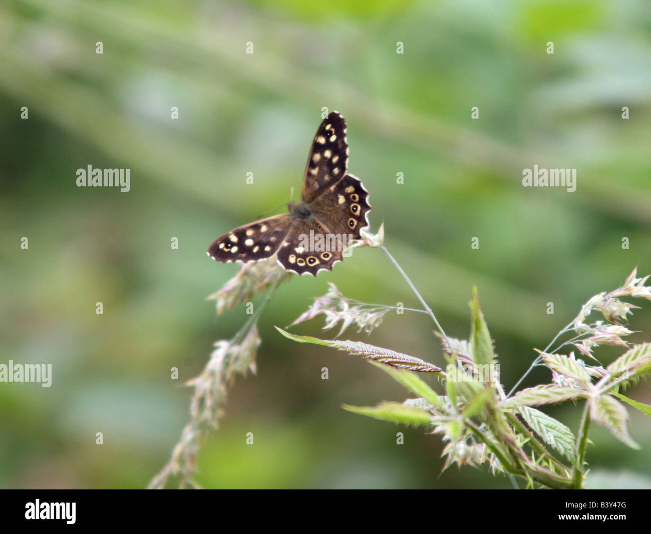 Speckled Wood Pararge aegeria butterfly Stock Photo