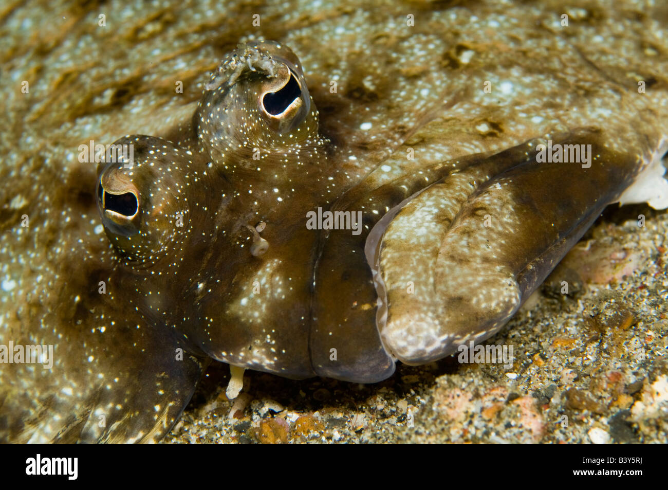 Unidentified left eye flounder in Lembeh Strait Indonesia - Stock Image
