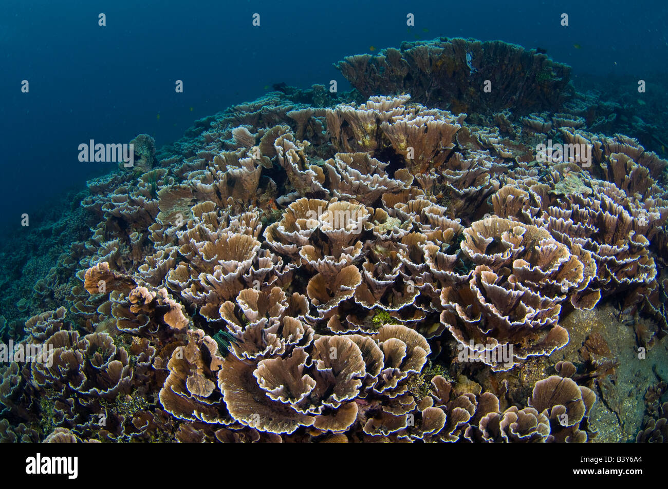 Coral Reef in Lembeh Strait Indonesia - Stock Image