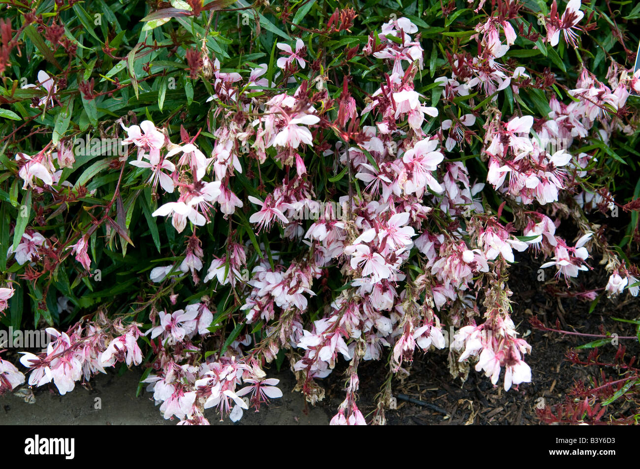 Gaura Lindheimeri `Passion Blush` - Stock Image