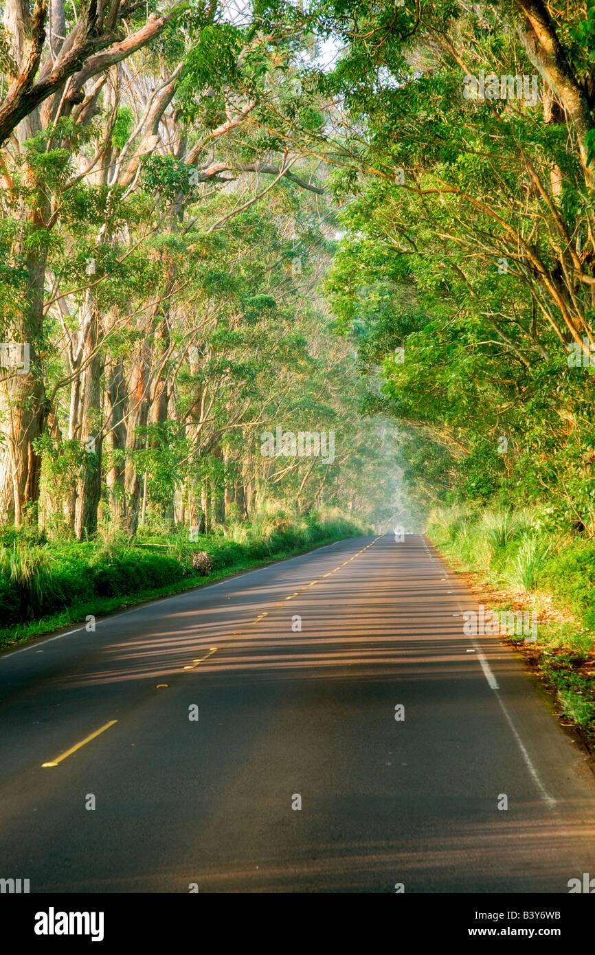 Tree lined Tunnel of Trees Eucalyptus Kauai Hawaii - Stock Image