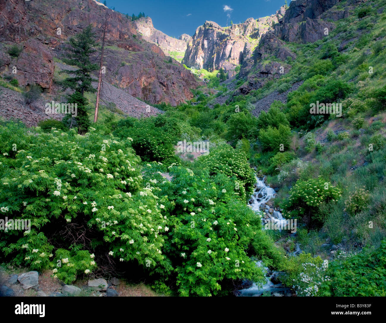 Elderberry growuing on side of Sawpit Creek Hell s Canyon National Recreation Area Idaho - Stock Image