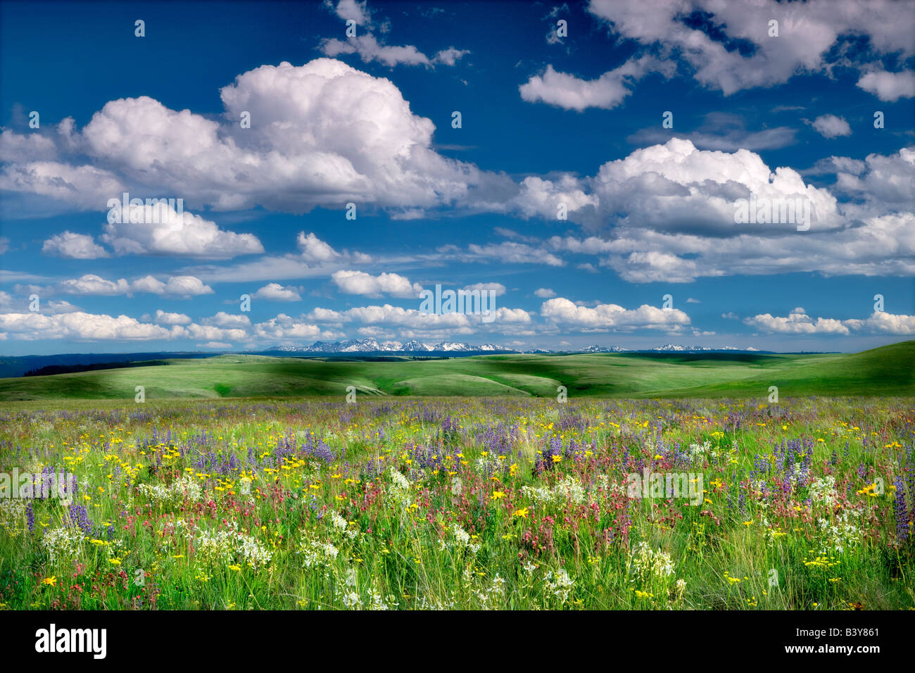 Wildflowers on Zumwalt Prairie with Seven Devils Mountains ID - Stock Image