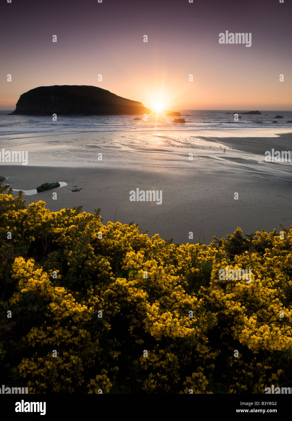 Sunset and gorse wildflower at Harris Beach State Park Oregon - Stock Image
