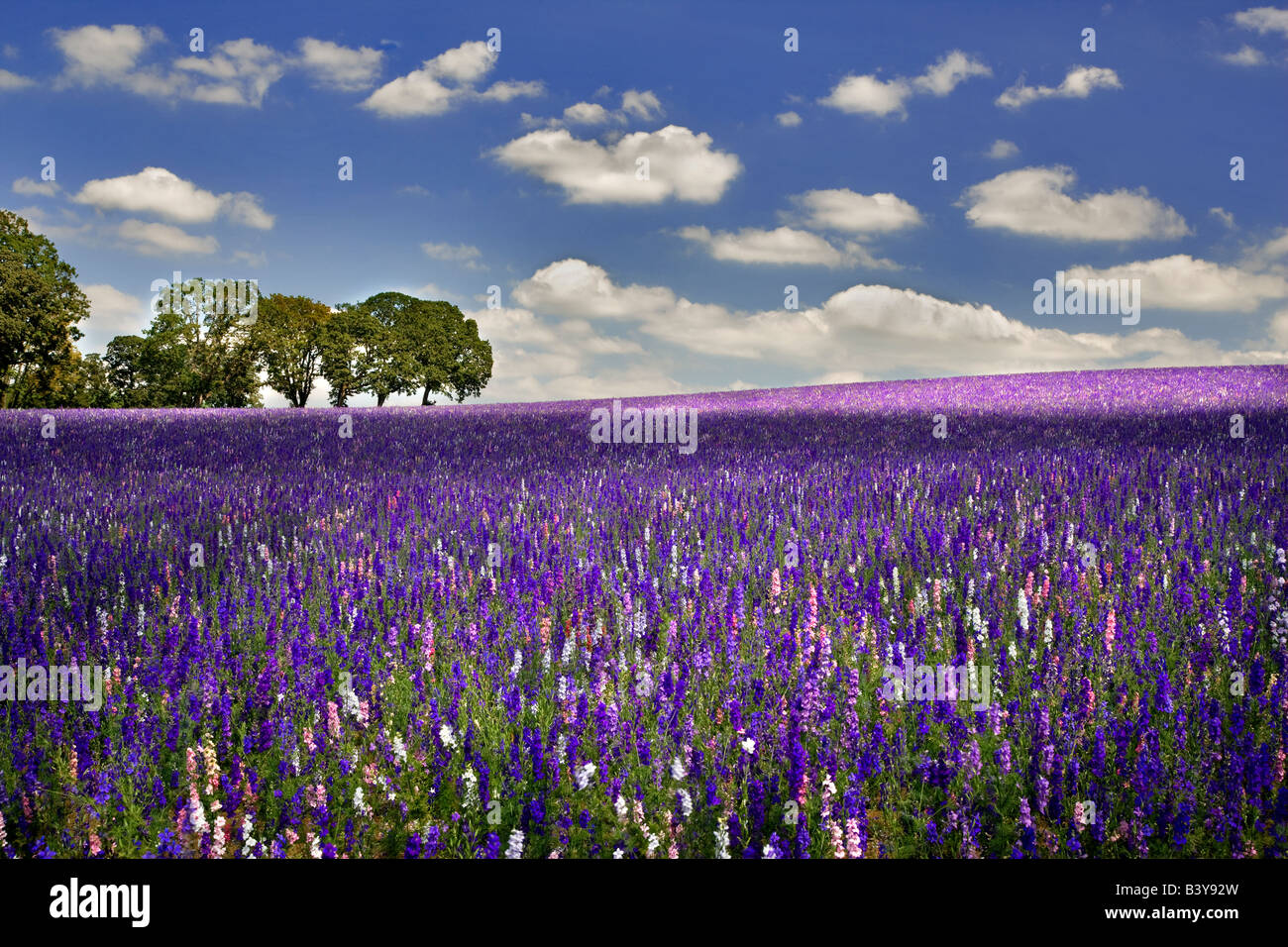 Field of Larkspur Near Silver Falls State Park Oregon - Stock Image