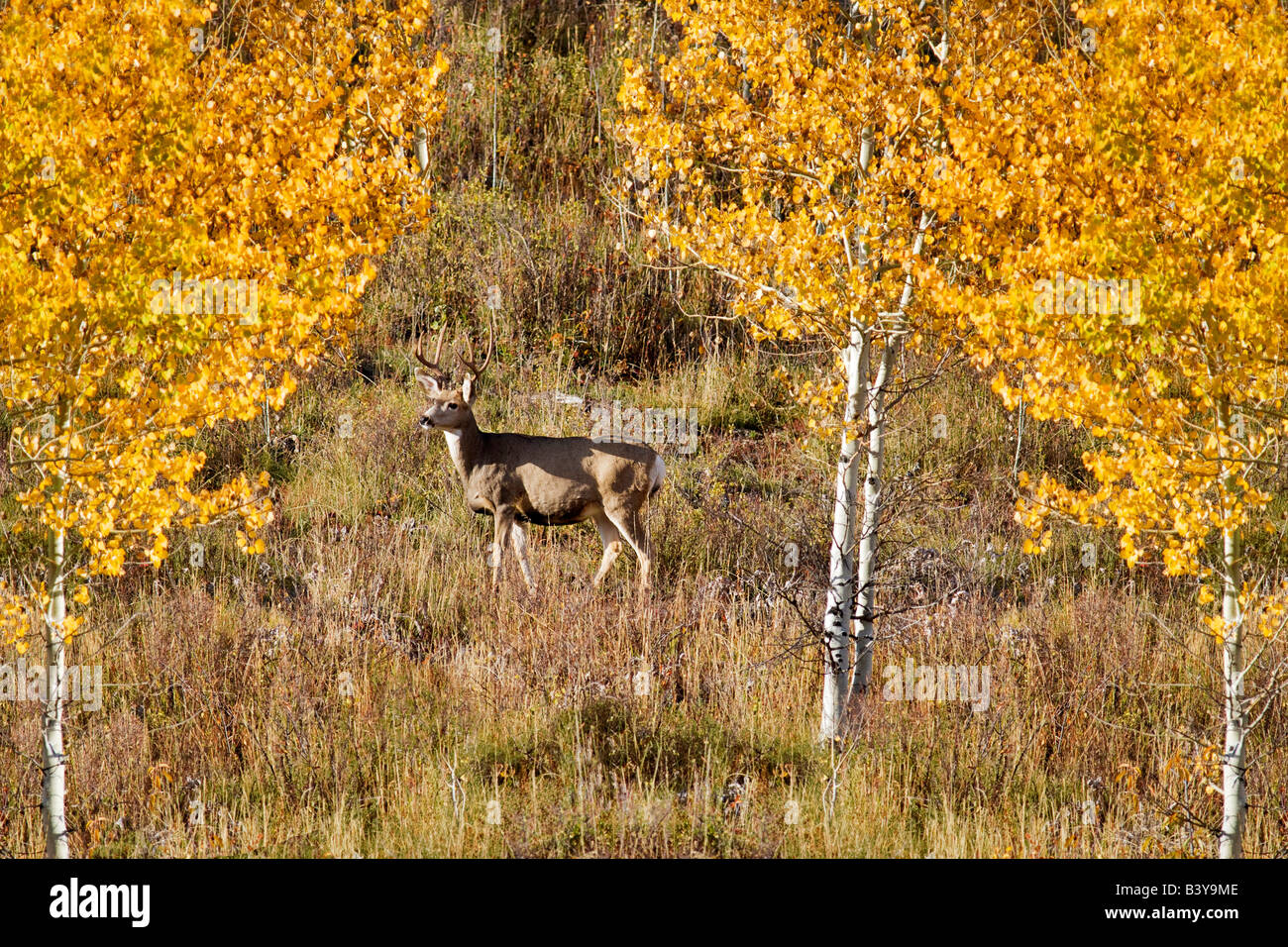 Buck deer with fall colored aspens Teton National Park WY - Stock Image