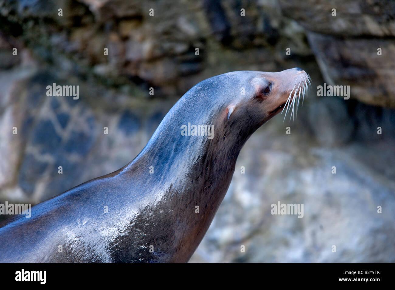 California Sea Lion Zalophus californianus at the Oregon Coast Aquarium Newport Oregon Stock Photo