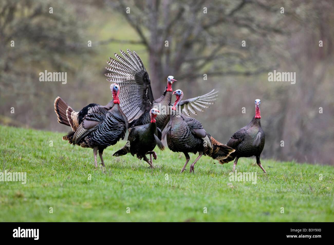 Wild Turkeys trying to mate Wildlife Safari Winston Oregon - Stock Image