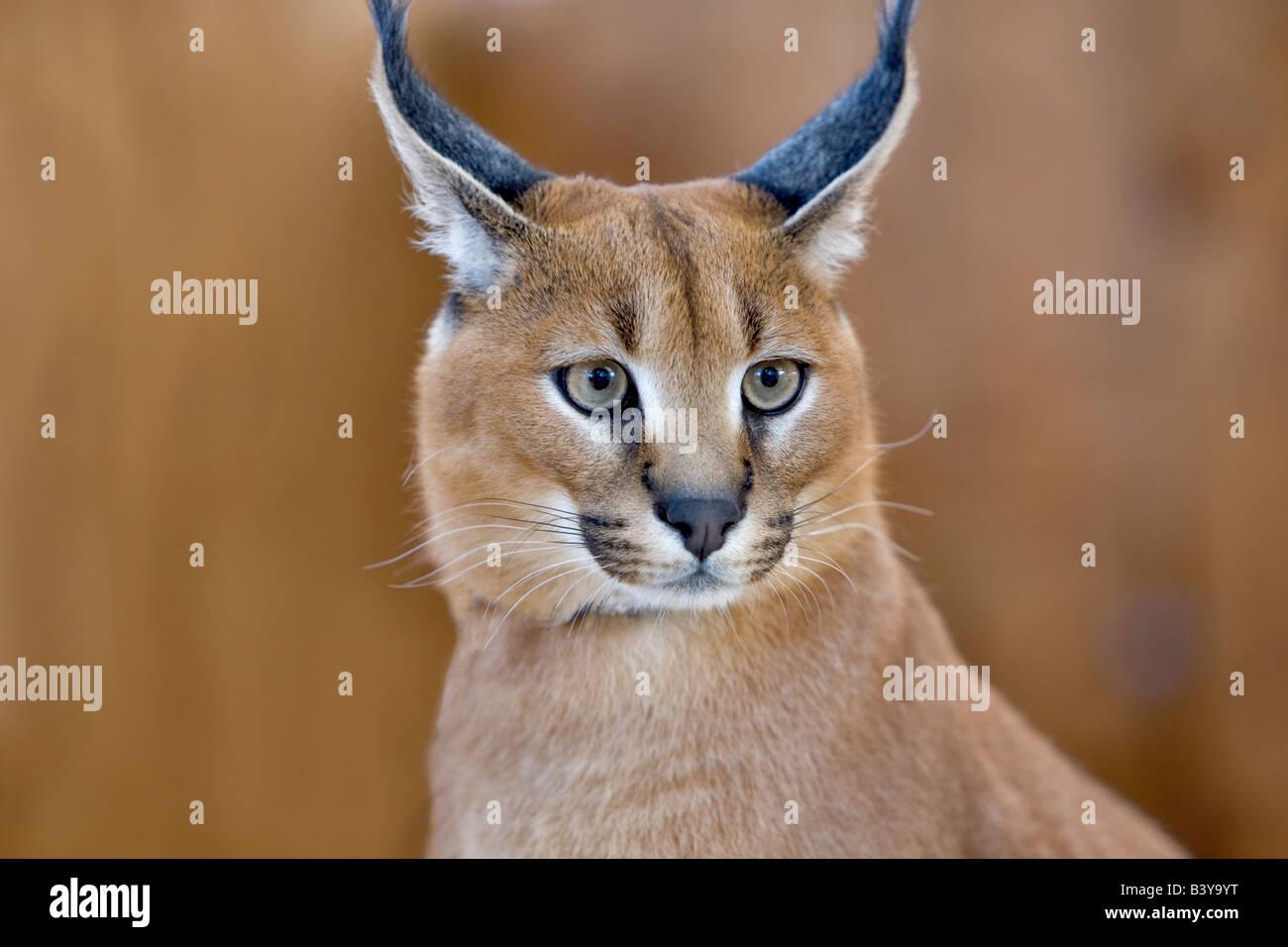 Nine month old African Desert Lynx West Coast Game Park Oregon - Stock Image