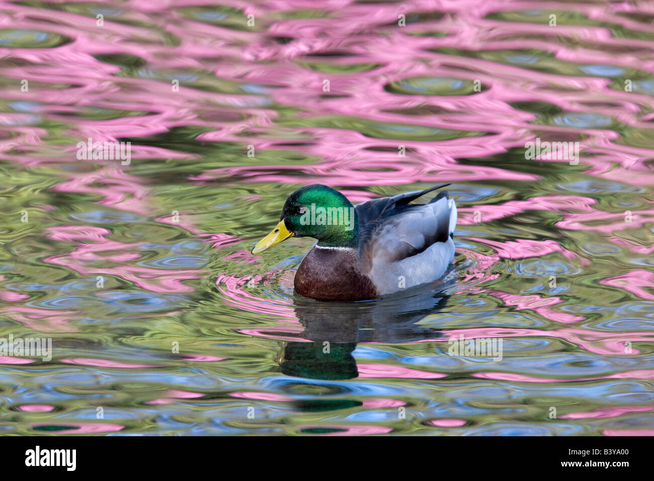 Wood duck at Cystal Springs Rhododendron Garden with reflecting Rhododendron in bloom Portland Oregon - Stock Image