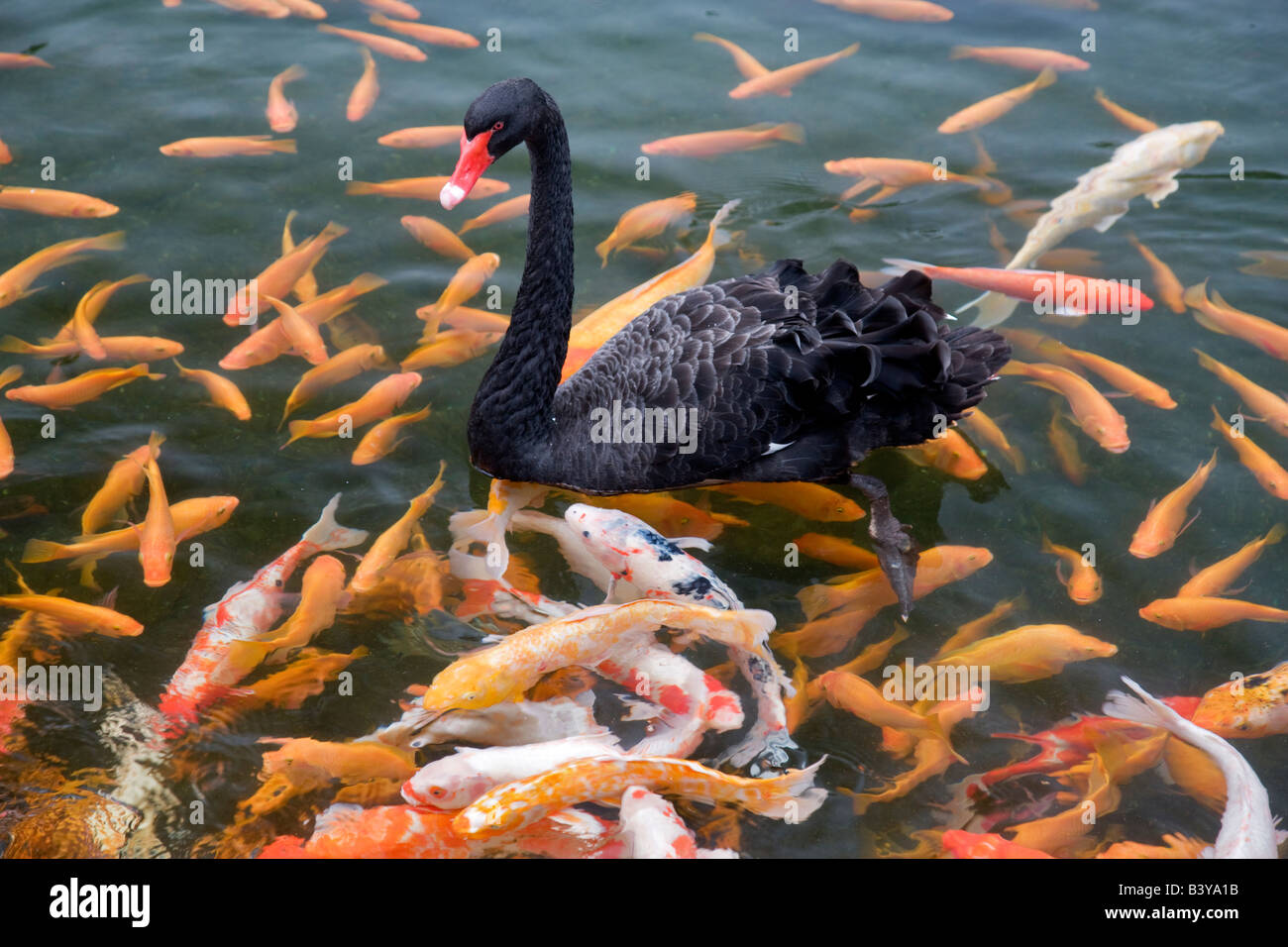 Black Swan and Koi fish Hyatt hotel Kauai Hawaii - Stock Image