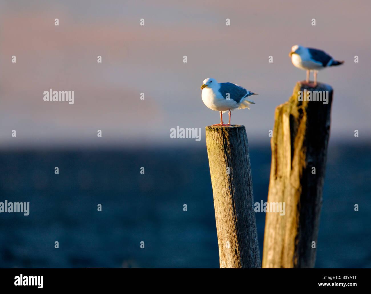 Seaguls on old pier posts Near Sequim Washington - Stock Image