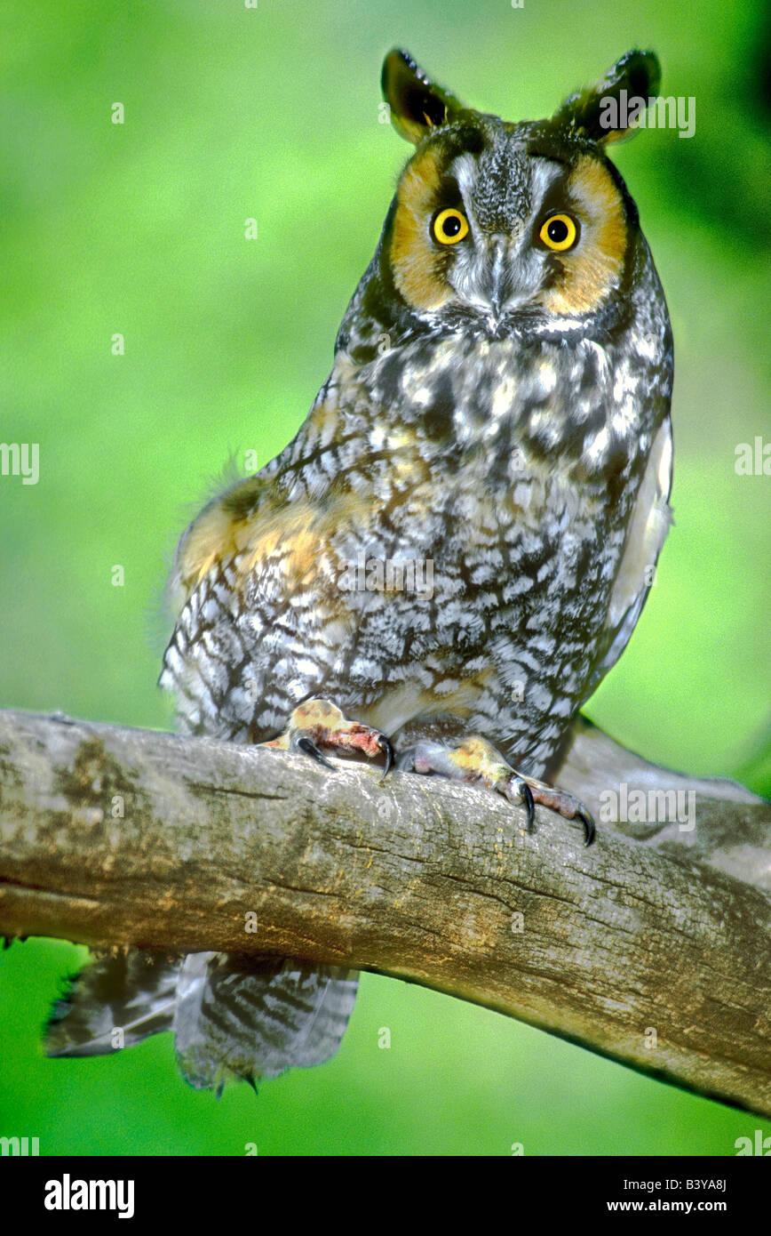 Long Eared Owl Asio Otus Colorado Stock Photos & Long Eared