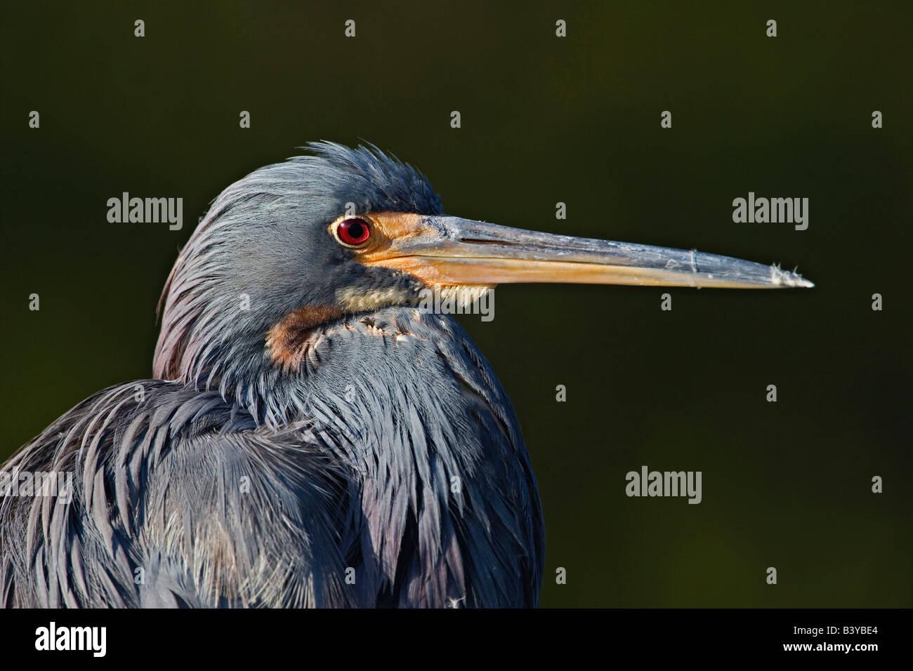 Tricolored Heron portrait, J. N. Ding Darling National Wildlife Refuge, Sanibel Island, Florida. Egretta tricolor - Stock Image