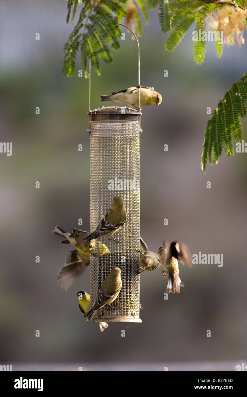droll advantage ring product feeder thistle feeders finch th with classic pull yankees