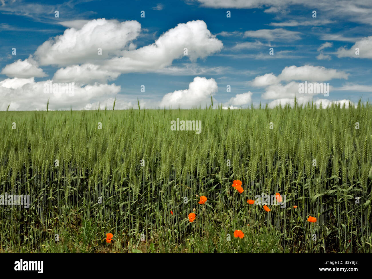 Red poppies and wheat field The Palouse Washington - Stock Image