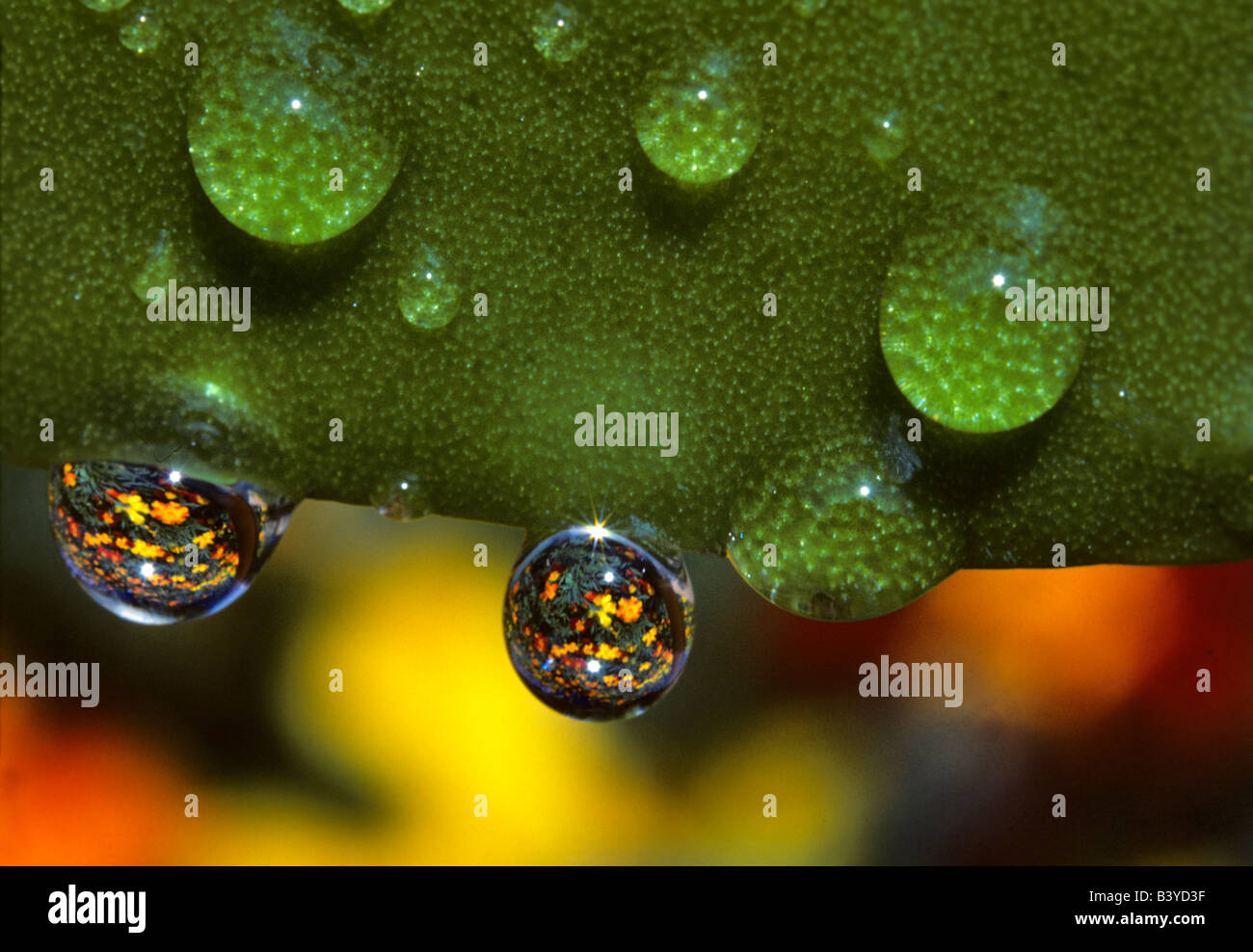 Marigolds reflected through water drops Monroe Oregon - Stock Image