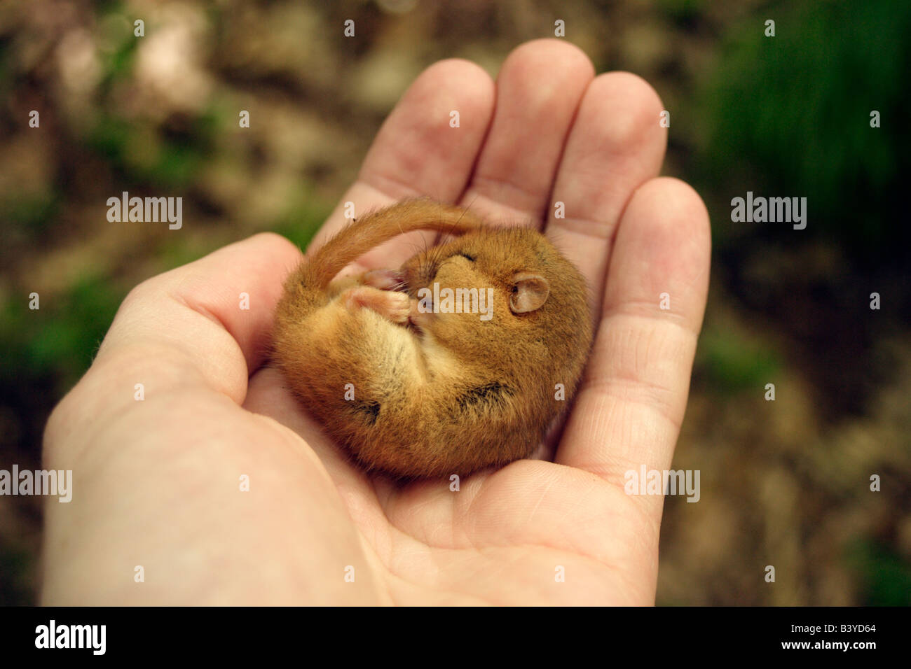 Hazel Dormouse Muscardinus avellanarius late hibernation in palm of hand at Goblin Combe, Somerset in June. - Stock Image