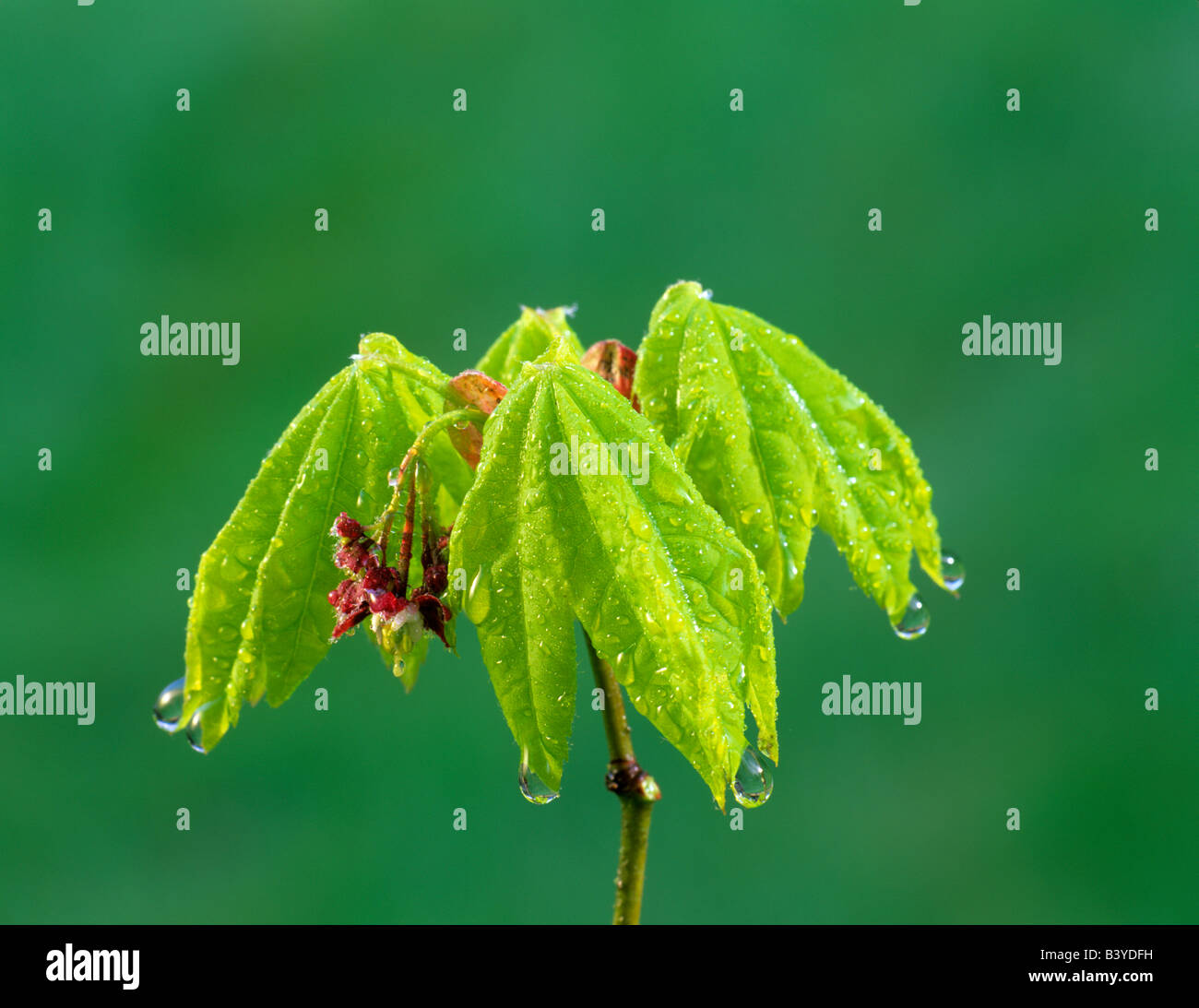 Early spring growth on vine maple Acer circinatum after rain Near Alpine Oregon - Stock Image