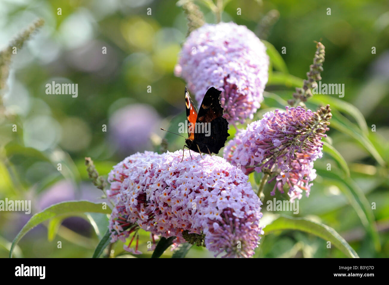 A peacock butterfly on Buddleia - Stock Image