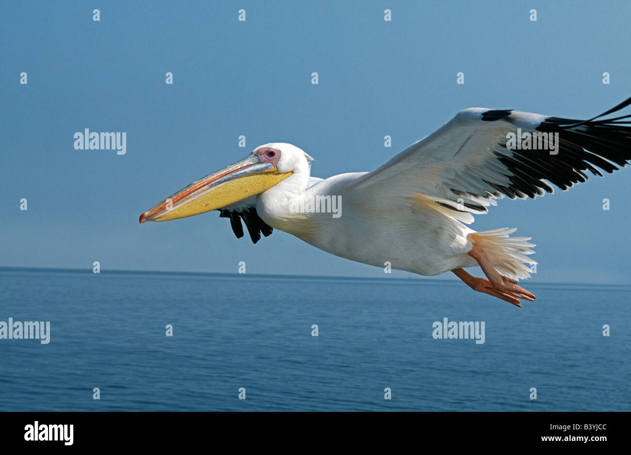 Namibia, Eastern White Pelicans (Pelecanus onocrotalus) in flight over Walvis Bay / Baii. - Stock Image