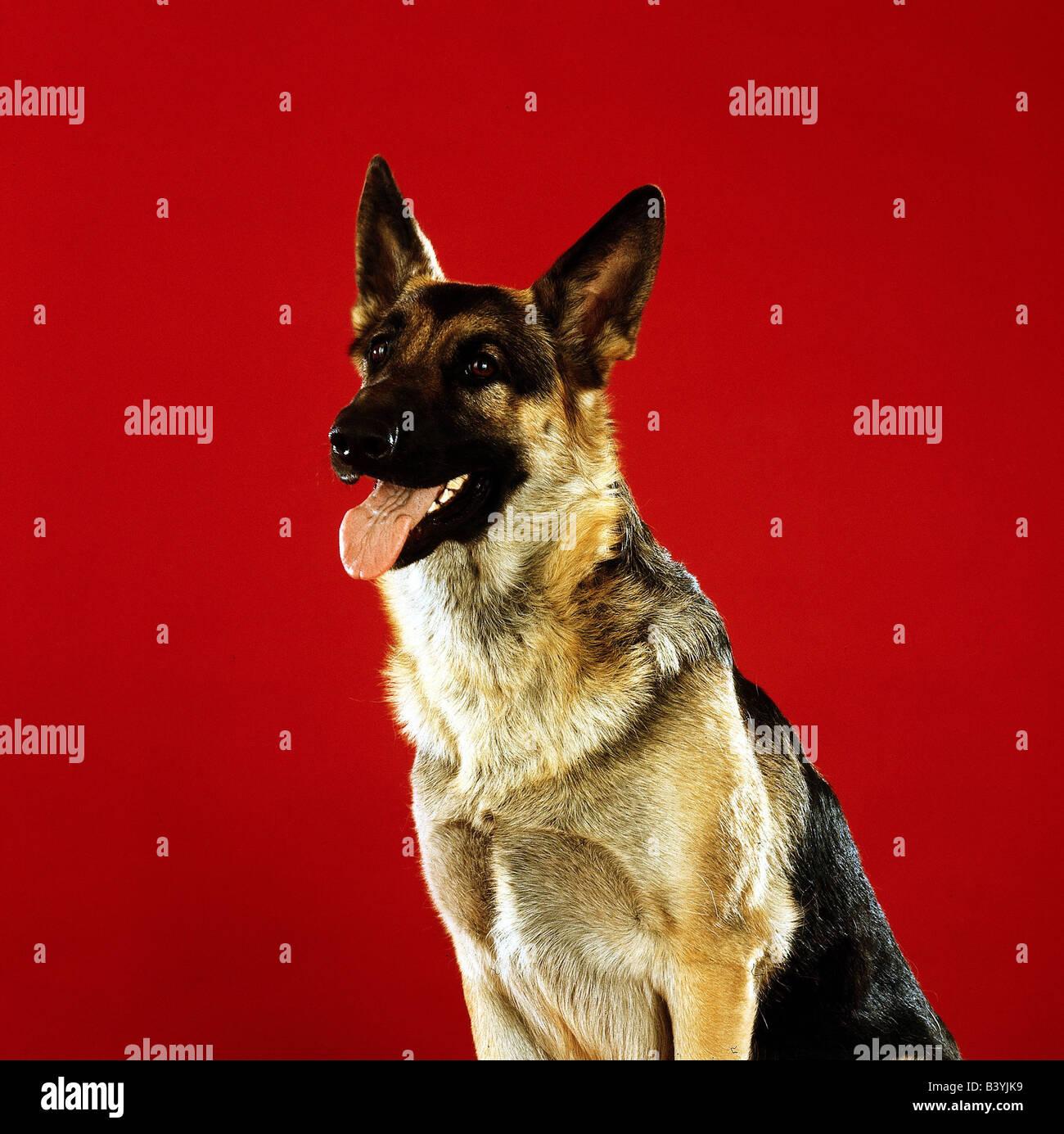 zoology / animals, mammal / mammalian, dogs, (Canis lupus familiaris), german shepherd dog, sitting, studio shot, - Stock Image
