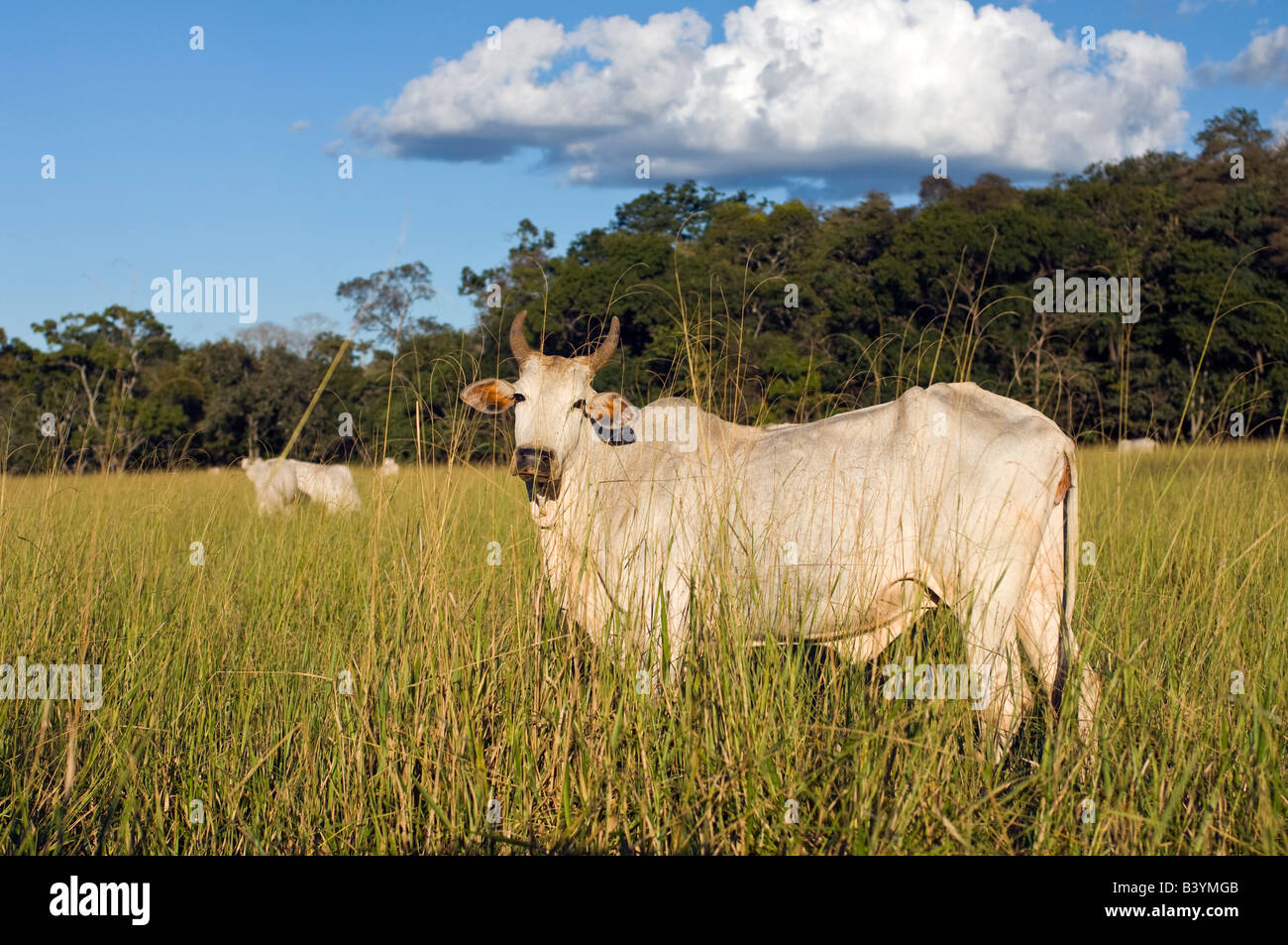Cattle ranching in Mato Grosso do Sul in Brazil has resulted in massive deforestation in the state Stock Photo