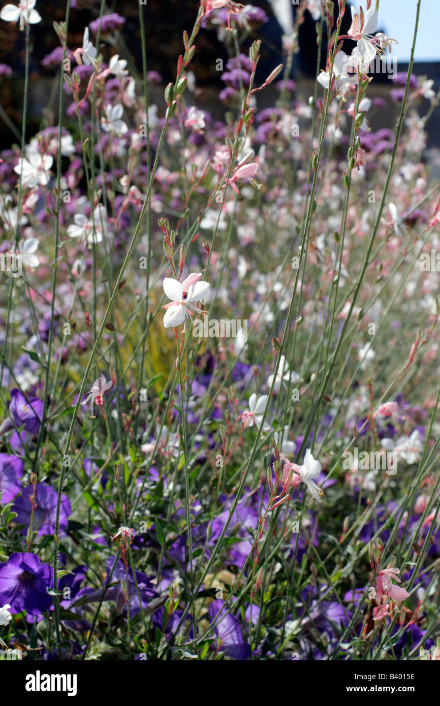 MUNICIPAL AMENITY PLANTINGS AT CHAUMONT LOIR ET CHER 41 USING GAURA LINDHEIMERI PETUNIA AND LYTHRUM VIRGATUM Stock Photo