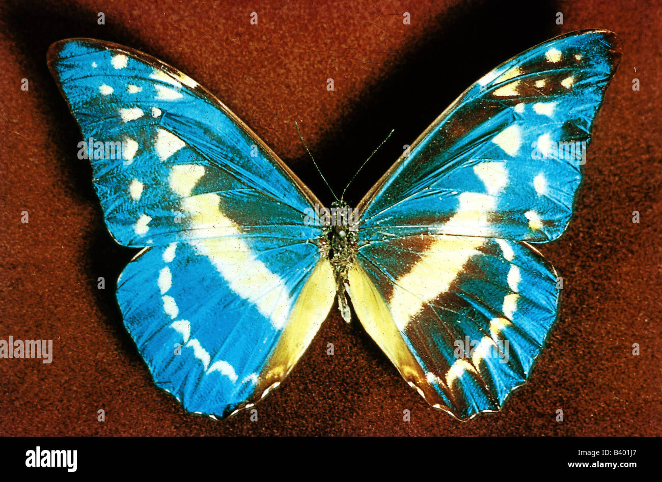zoology / animals, insect, butterflies, Blue Morpho, (Morpho helena), distribution: Peru, butterfly, Lepidoptera, - Stock Image