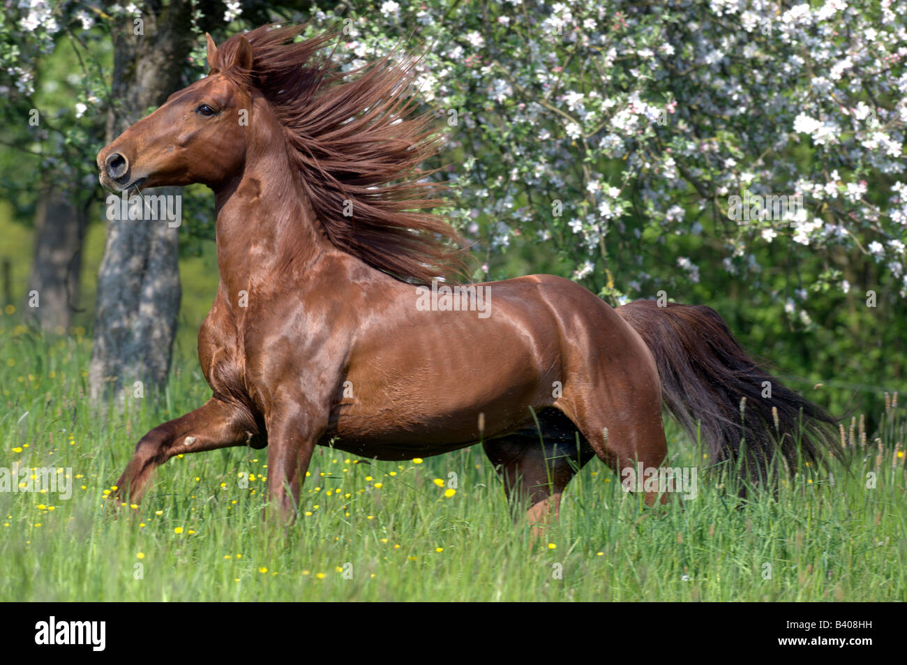 Missouri Fox Trotter (Equus caballus) stallion on a meadow - Stock Image