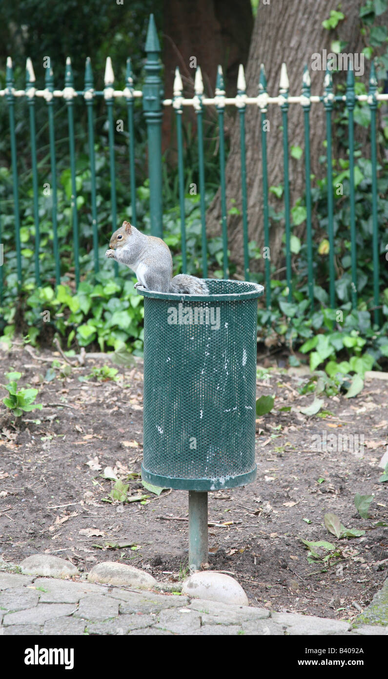 A cheeky grey squirrel scavenging in a litter bin in the local park - Stock Image