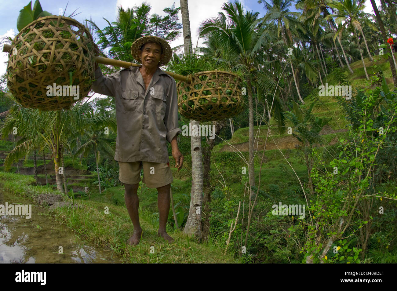 A farmer harvests rice in the rice terraces of Ubud Bali - Stock Image