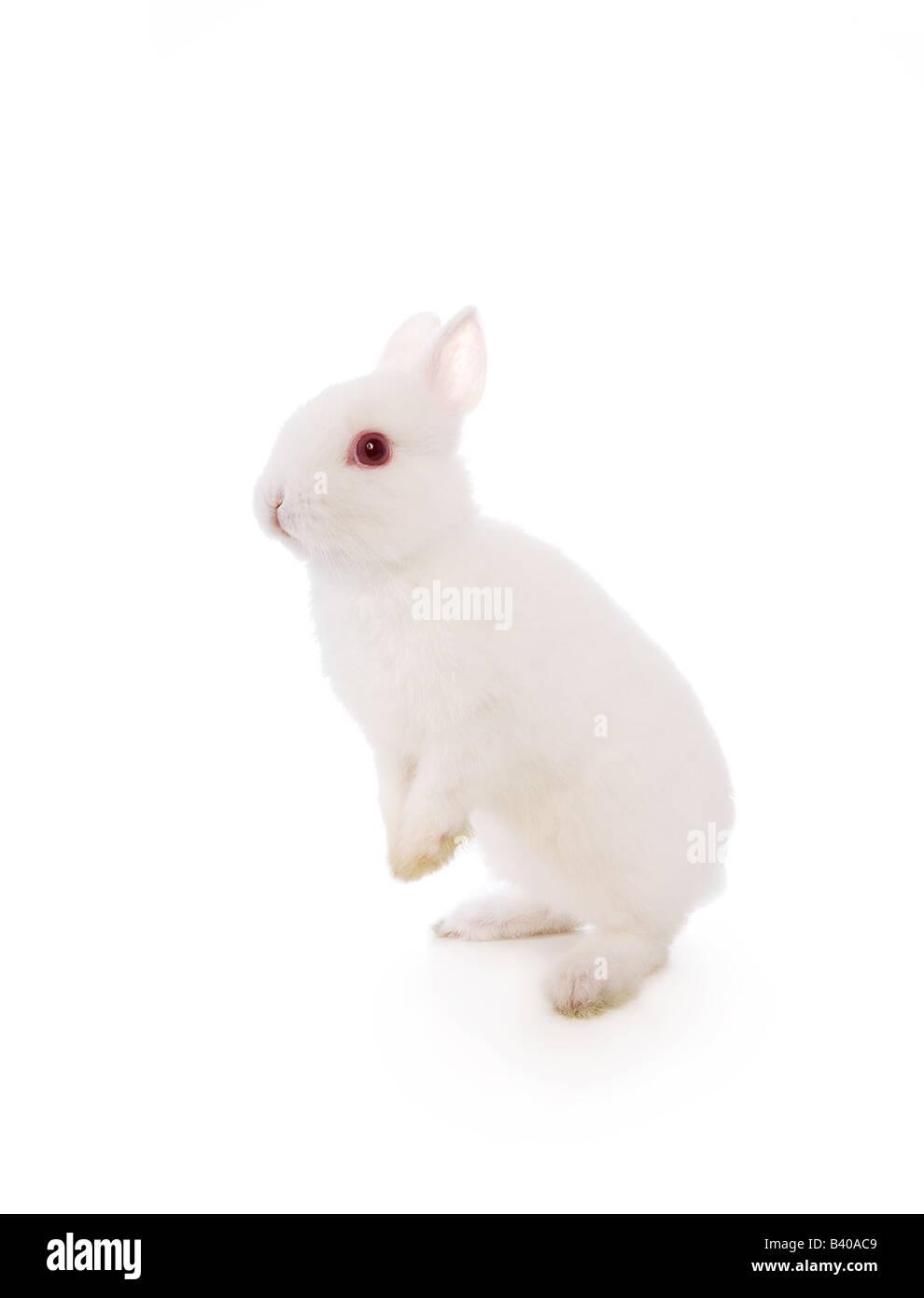 Cute white Netherland Dwarf bunny rabbit isolated - Stock Image