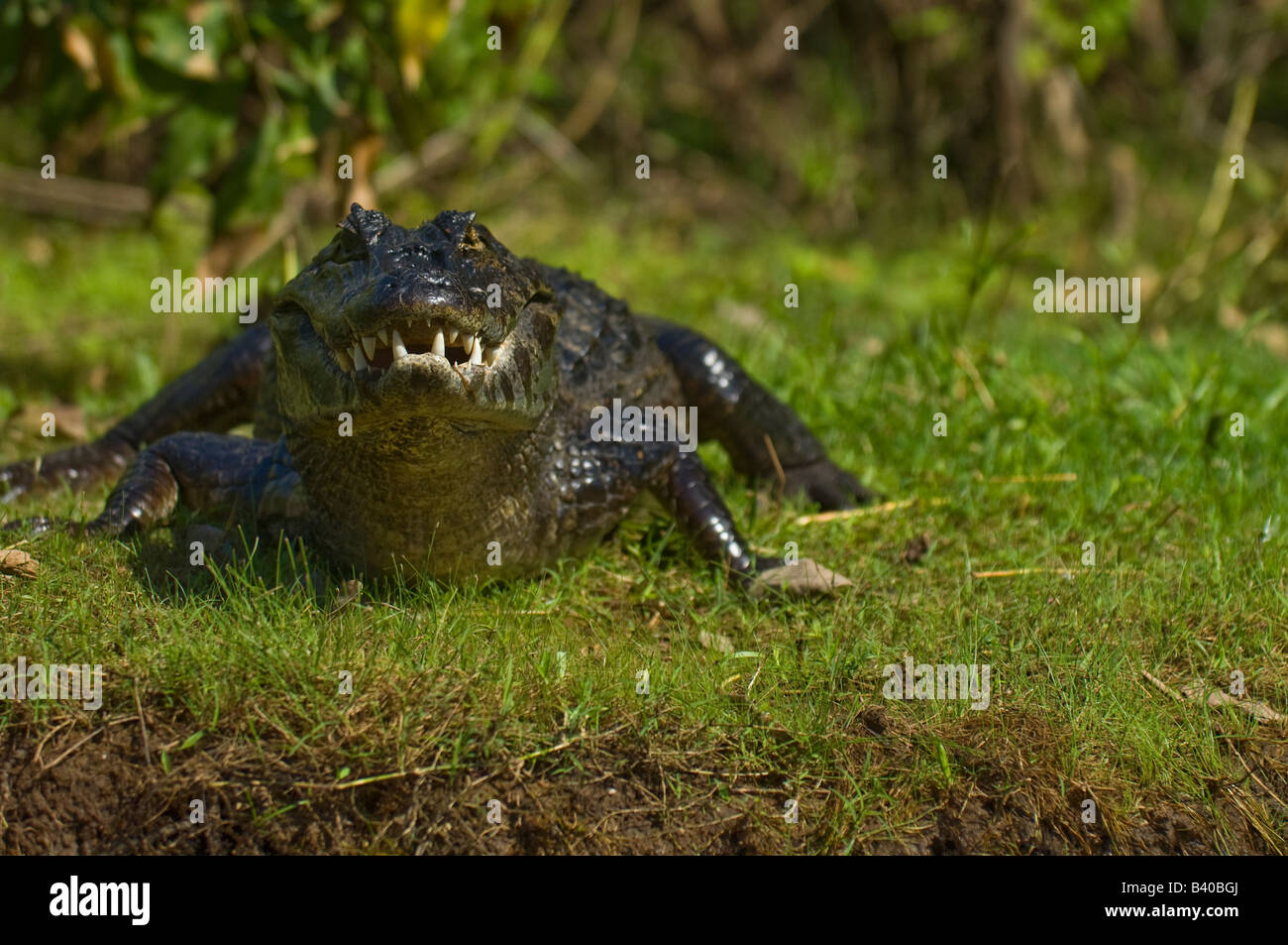 Jacare Caiman or Paraguay Caiman Caiman yacare in the Pantanal Mato Grosso do Sul Brazil - Stock Image