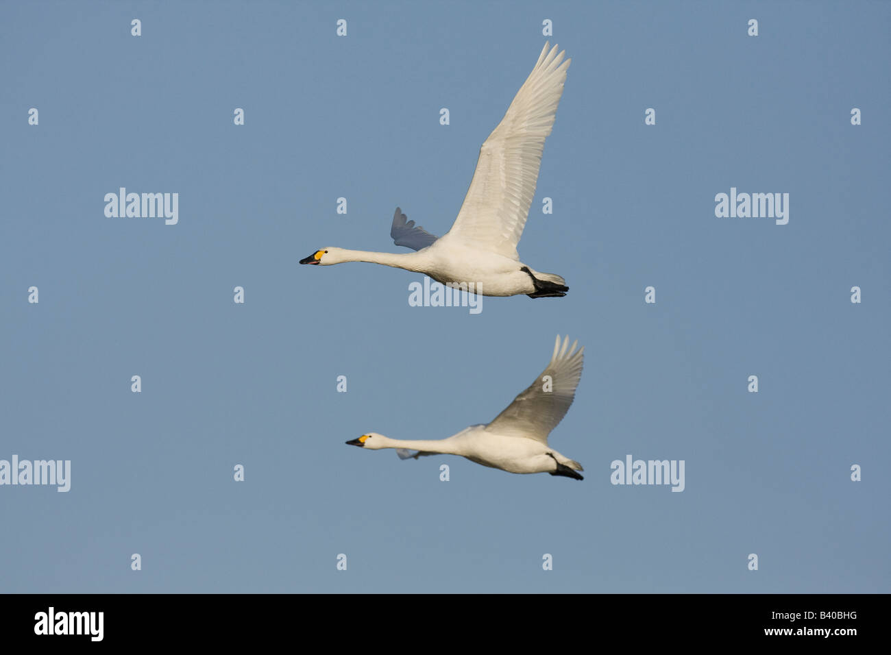 Two Bewick's swan Cygnus columbianus in flight together Stock Photo
