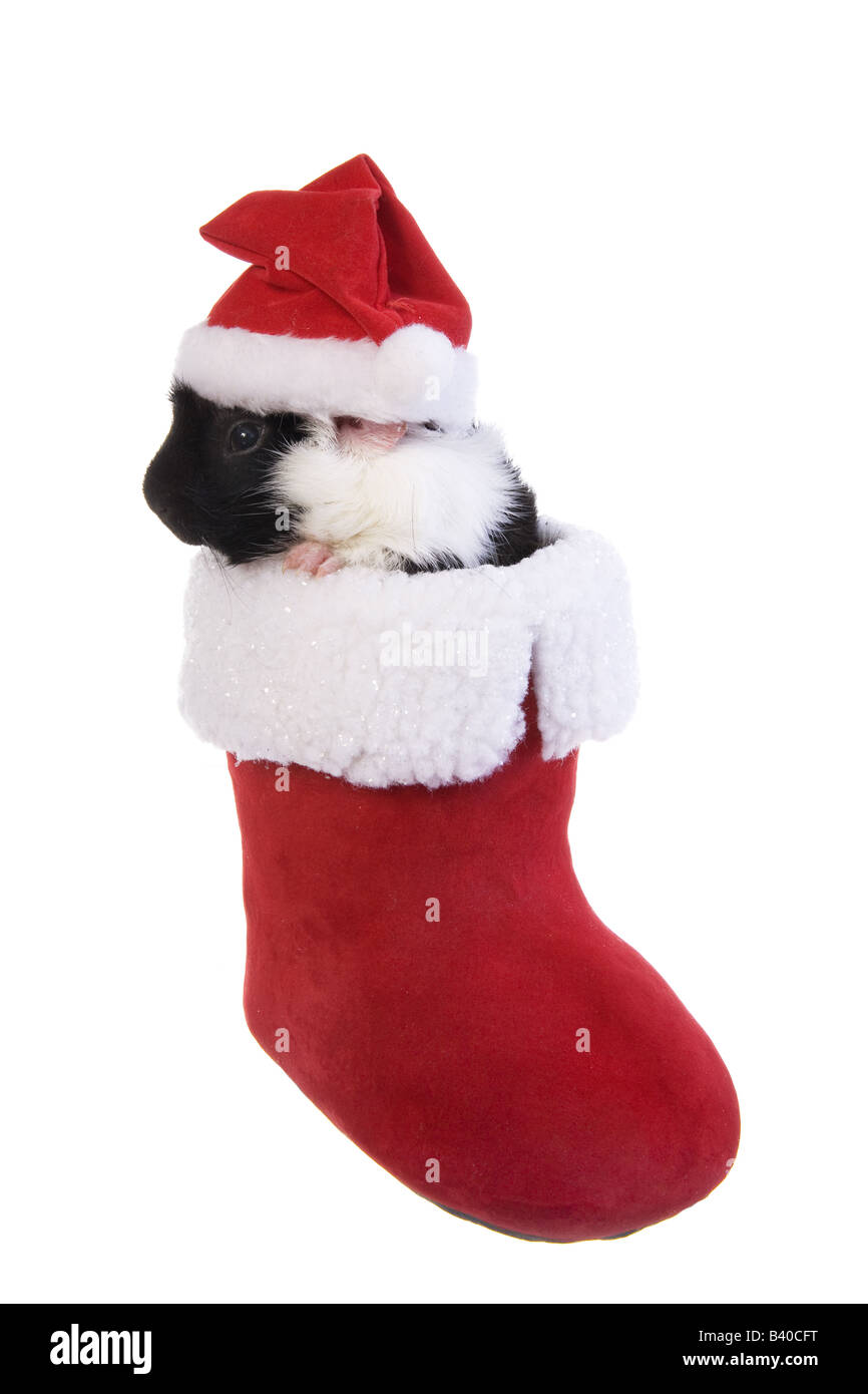 Guinea Pig Christmas Cut Out Stock Images & Pictures - Alamy