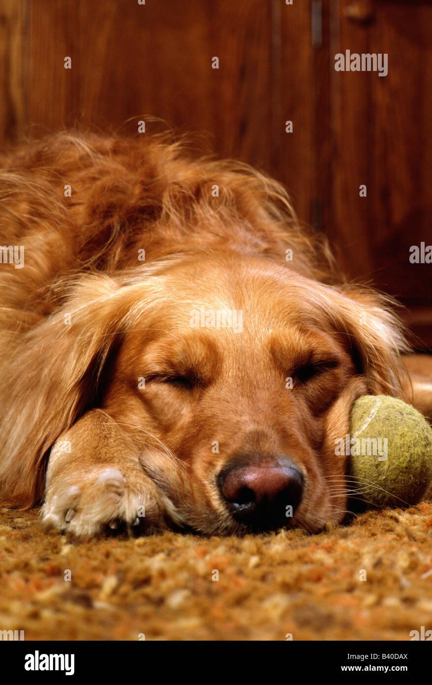 Golden Retriever dog sleeping with an old, worn, tennis ball. - Stock Image