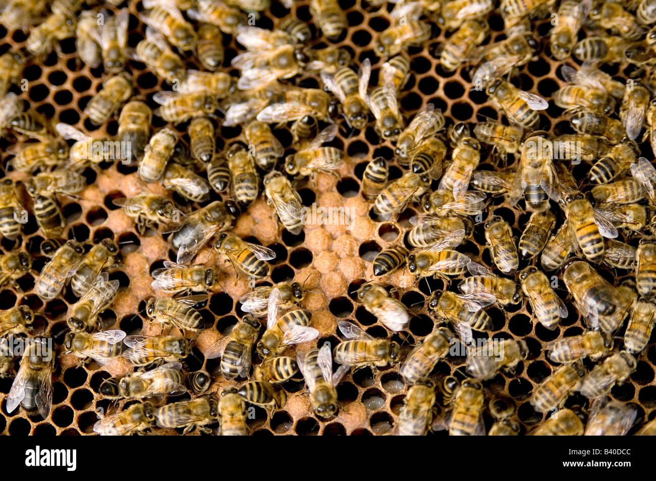 bee bees beekeeping keeping hive hives beehive beehives keeper beekeeper honey honeycomb queen swarm beesuit suit - Stock Image