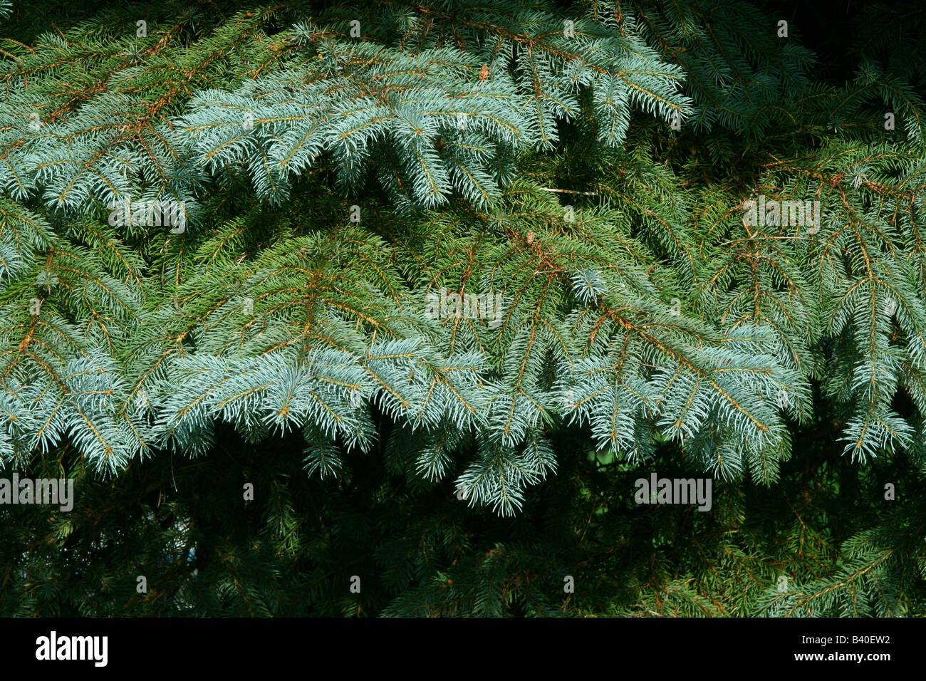 New growth on Blue Spruce Tree ( Picea pungens ) North America - Stock Image