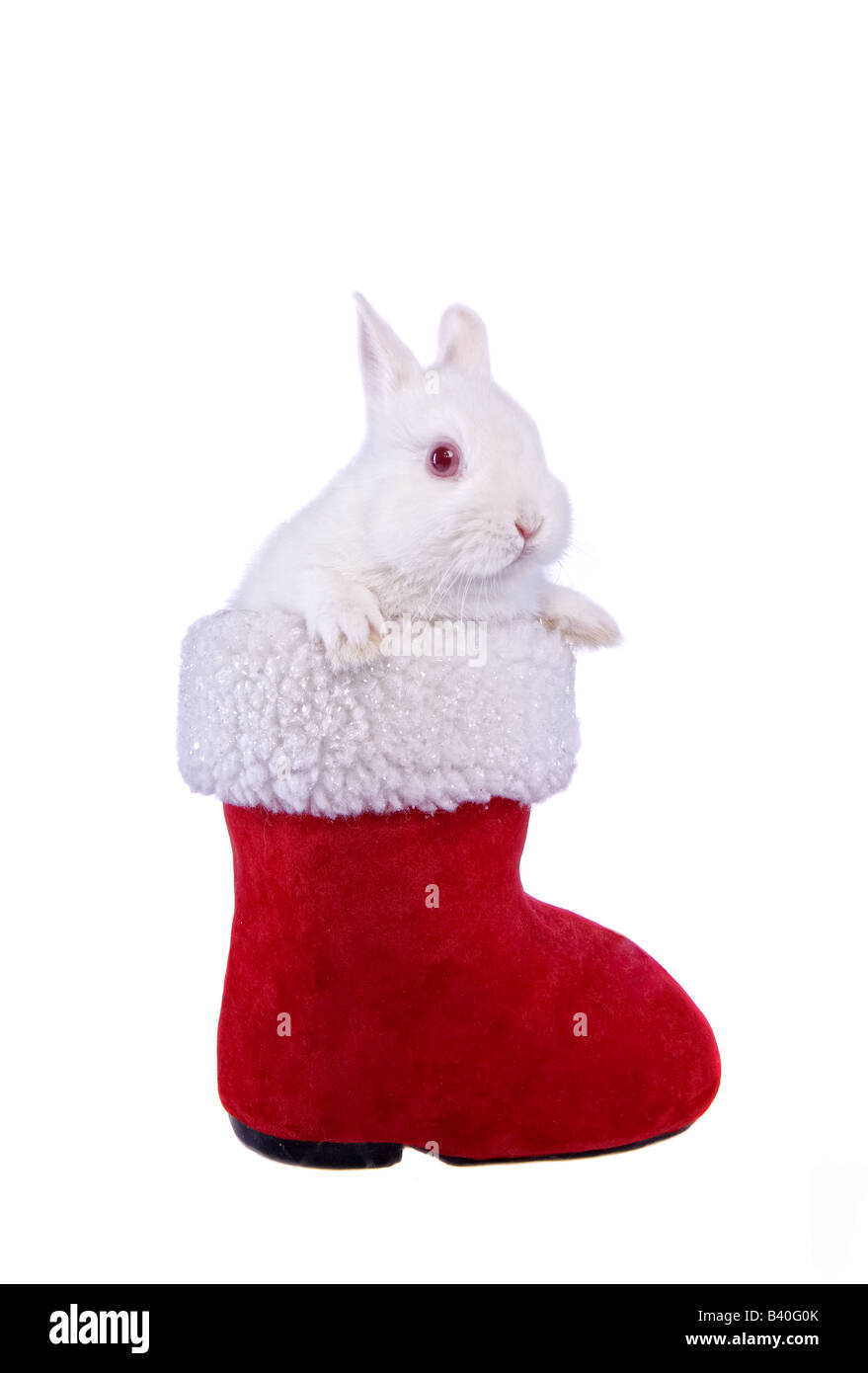 White Netherland Dwarf Bunny Rabbit in red and white Christmas Santa boot isolated on white background - Stock Image