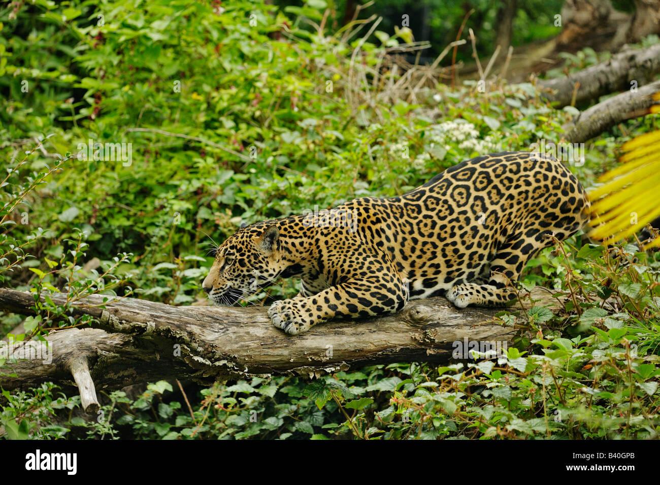 Alert jaguar on the prowl Note Captive subject - Stock Image