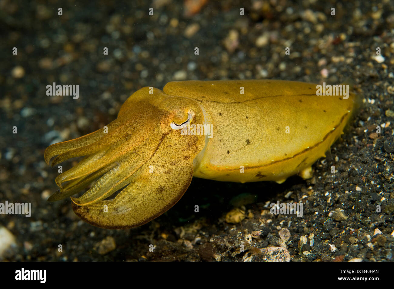 Unidentified Cuttlefish Sepia sp in Lembeh Strait Indonesia - Stock Image